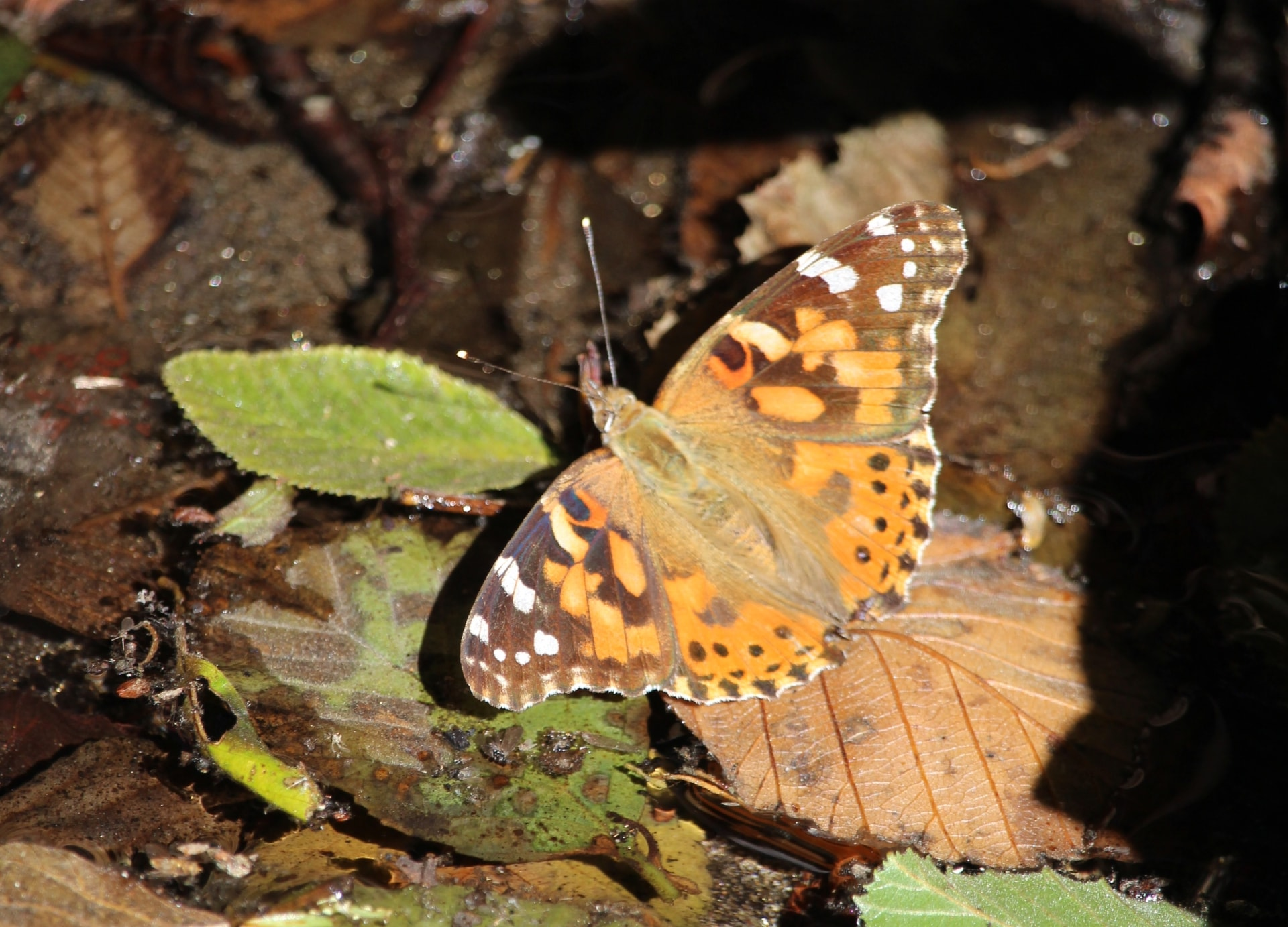 Living responsible with our environment, painted lady butterfly in Big Sur pictured